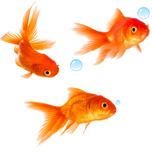 Goldfish no background