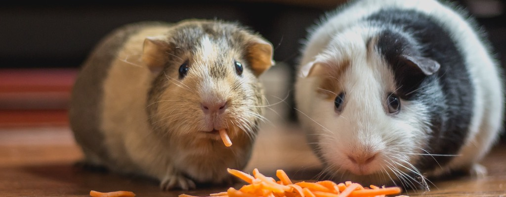 Guinea Pigs for sale and Pengethley Garden Centre