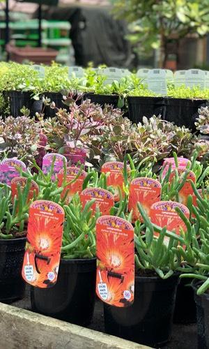 alpine plant lots