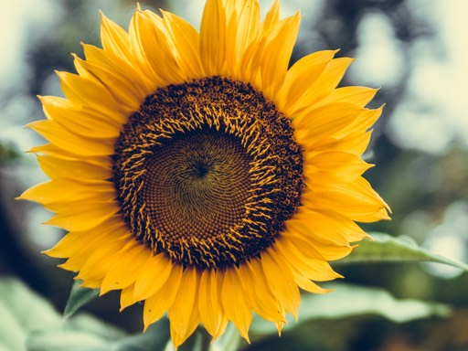 Sunflower denoting popular seed to grow