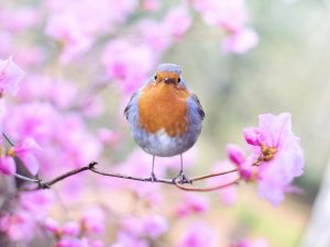 Robin red breast bird sat ion a tree with pink blossom